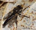 Robberfly - Cyrtopogon