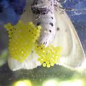 Virginian Tiger Moth (Spilosoma virginica) - Spilosoma virginica - female
