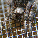 Need some help with this humped spider ID - Araneus saevus