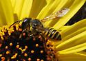 Reality Check: Megachile? Yes  - Megachile fidelis - female