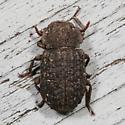 beetle - Bolitophagus corticola