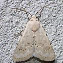 moth - Leucocnemis perfundis