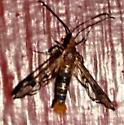 Synanthedon acerrubri - Red Maple Borer? - Synanthedon acerni