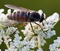 Horsefly - Stonemyia - female