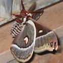 Huge Moth - Hyalophora columbia
