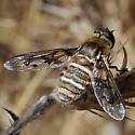 Bombyliid, sp - Exoprosopa doris