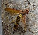 Horntail wasp? - Tremex columba - female