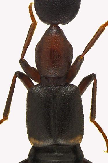 Rove Beetle - Rugilus angustatus