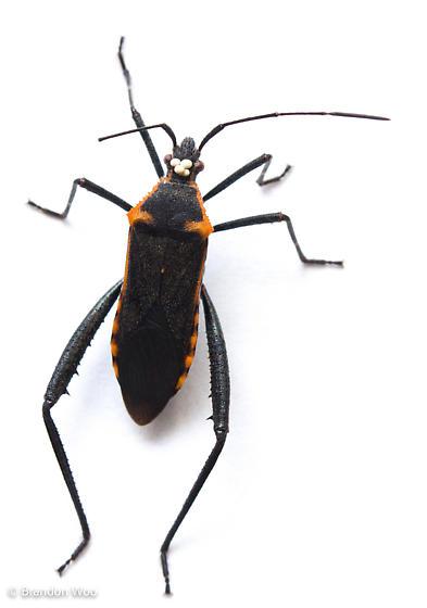 Phthiacnemia picta