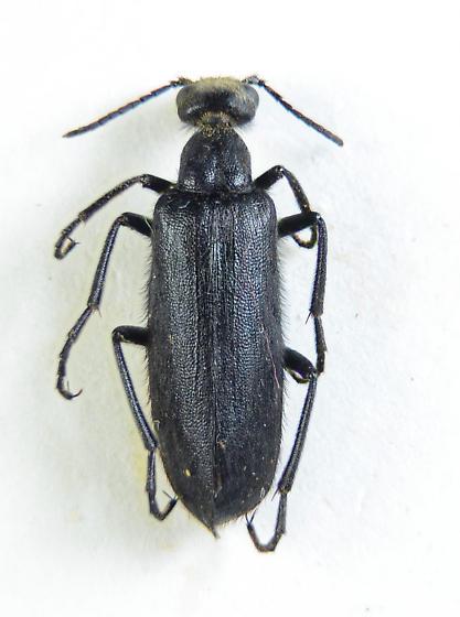 Blister Beetle - Epicauta puncticollis
