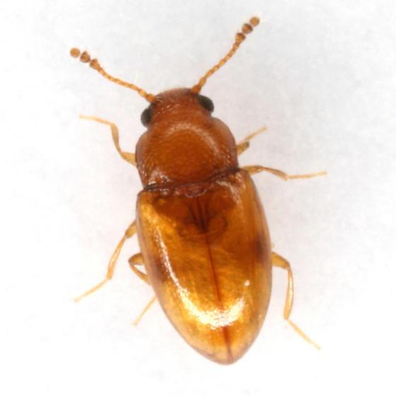 Toramus sp. EGR 1 - Toramus