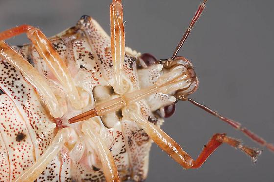 Stink bug - Podisus brevispinus