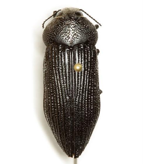 Polycesta aruensis Obenberger - Polycesta aruensis
