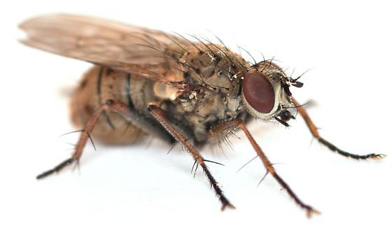 tiger fly - Coenosia tigrina - female