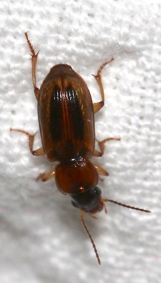 Beetle - Stenolophus