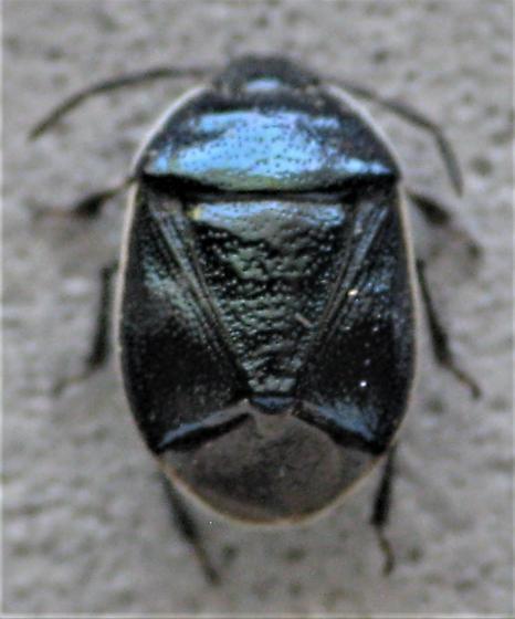Beautiful blueish bug - Sehirus cinctus