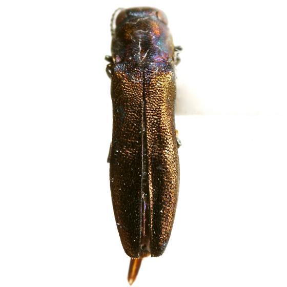 Agrilus geminatus (Say) - Agrilus geminatus