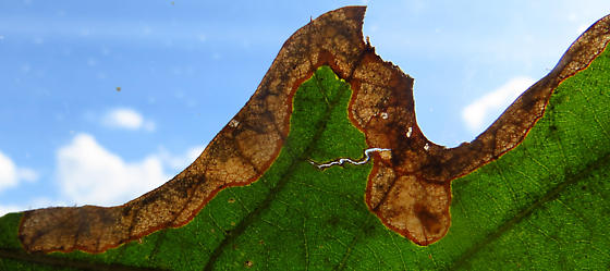 Mine on Quercus stellata seedling - Brachys? - Brachys