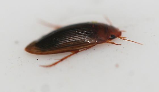 Hydrophilidae? - Copelatus glyphicus