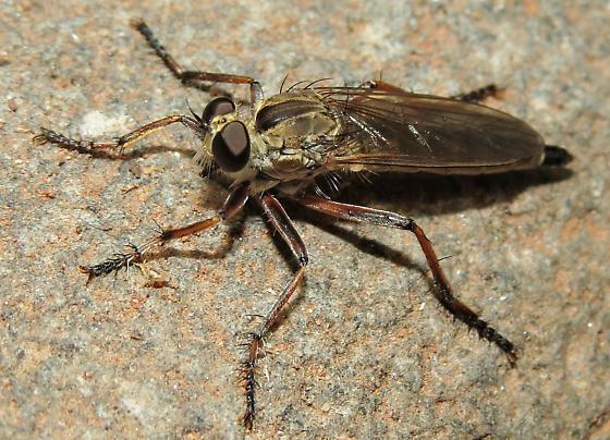 Robber fly 1 - Philonicus plebeius - female