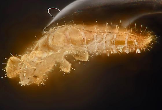 Proturan, lateral abdomen - Hesperentomon macswaini