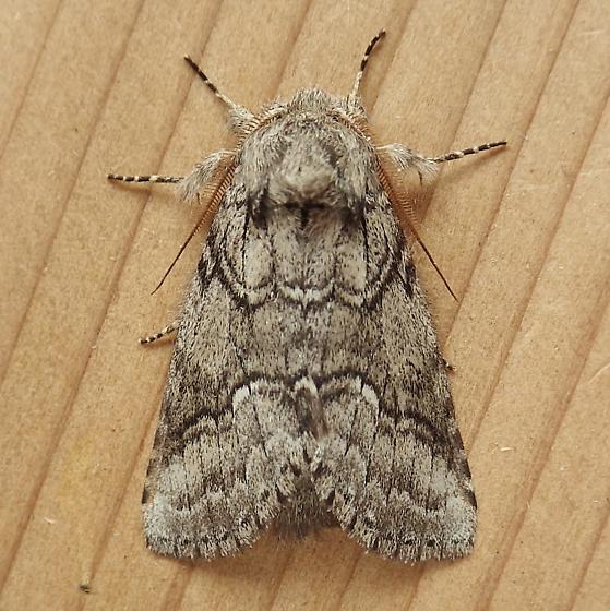 Notodontidae: Lochmaeus bilineata - Lochmaeus bilineata