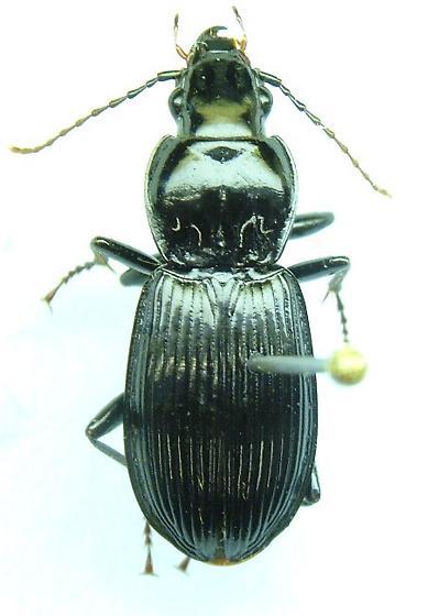 Pterostichus - Pterostichus stygicus - female