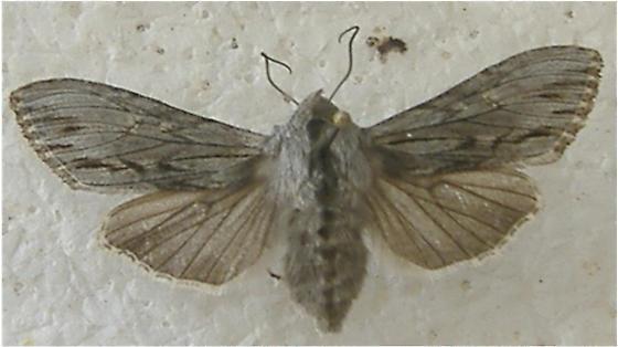 Noctuid moth, genus Cucullia - Cucullia strigata - male