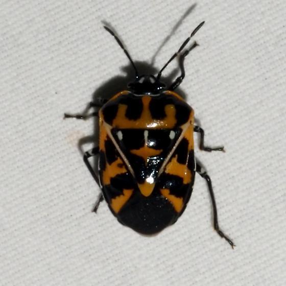 ID Request - Murgantia histrionica