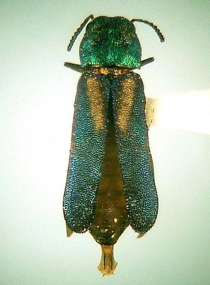 Xenorhipis brendeli - female