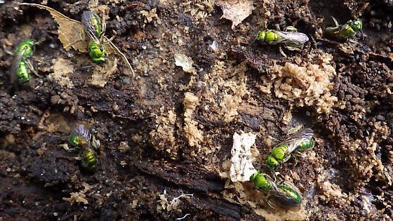 Green flies under log - Augochlora pura