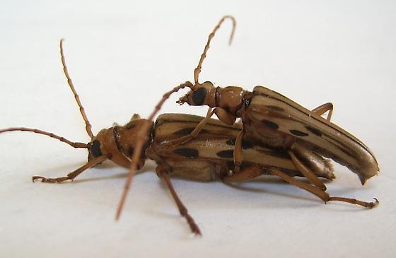 Ortholeptura valida - male - female