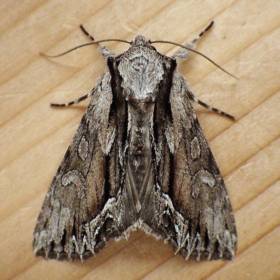 Noctuidae: Hyppa xylinoides - Hyppa xylinoides - female
