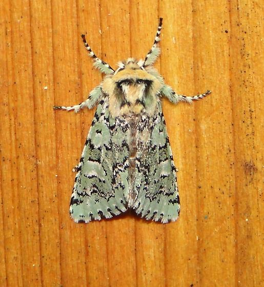 Feralia species One of the Sallow Moths? - Feralia major