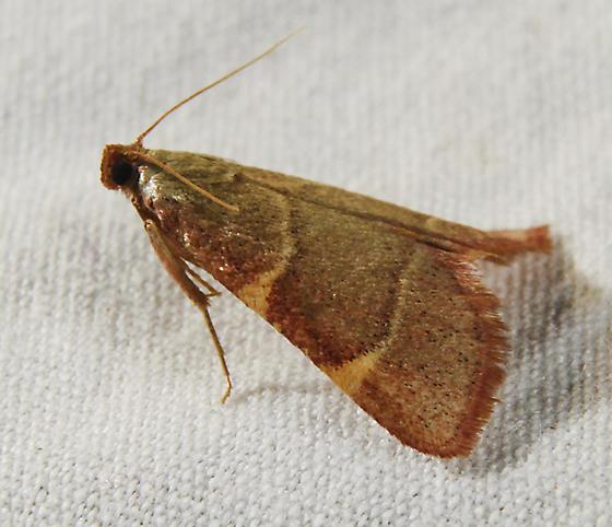 possible Hypsopygia binodulalis - Hypsopygia binodulalis
