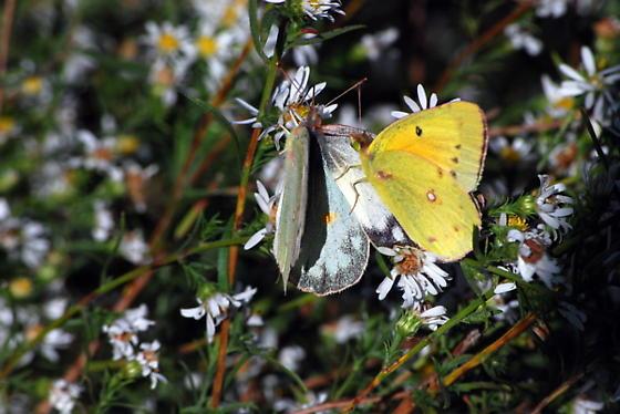 Orange Sulfur in Oklahoma - Colias eurytheme - male - female