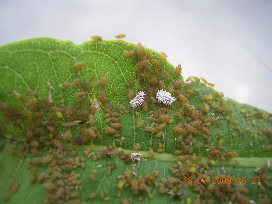 milkweed aphids? - Aphis asclepiadis