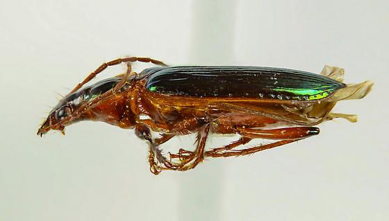 Gorgeous Green Carabid - Metacolpodes buchanani - male
