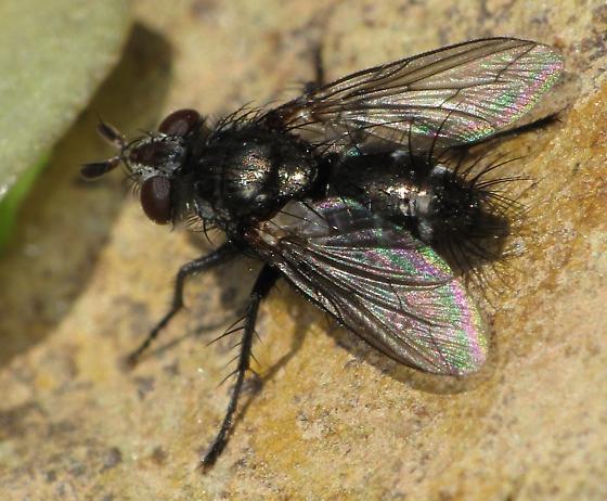 metallic Tachinidae - Cyrtophleba nitida