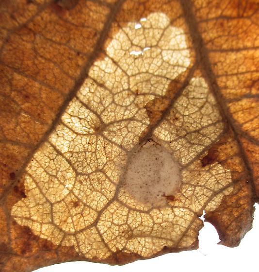 Bur oak leaf mine - Tischeria quercitella