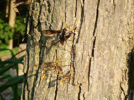 Mosquito eater?? - Megarhyssa - female