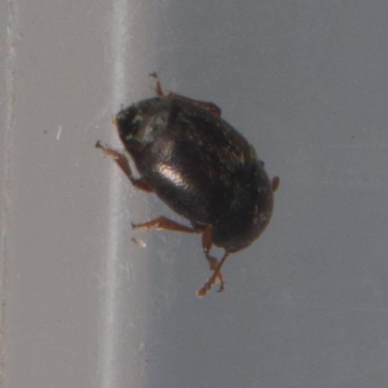 Kateretidae - Short-winged Flower Beetle?