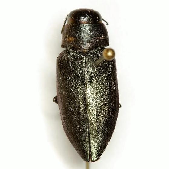 Actenodes mendax Horn  - Actenodes mendax