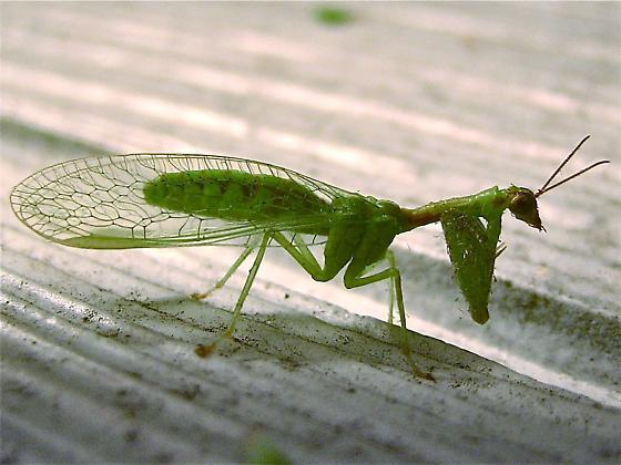 Green Mantisfly (Zeugomantispa minuta) - Zeugomantispa minuta