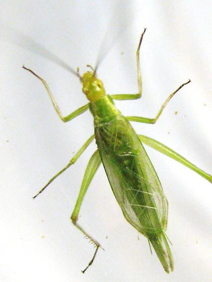 Forbes' tree cricket adult male - Oecanthus forbesi - male