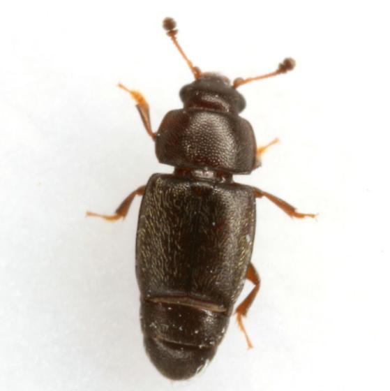 Carpophilus corticinus Erichson - Carpophilus corticinus