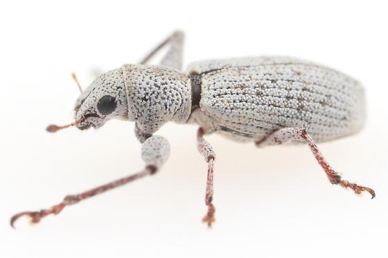Weevil - Pandeleteius nodifer
