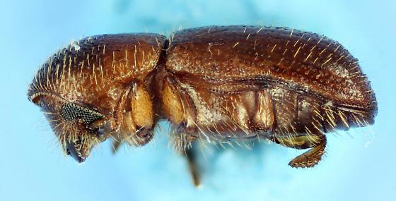 Scolytinae 579 - Xyleborus pubescens