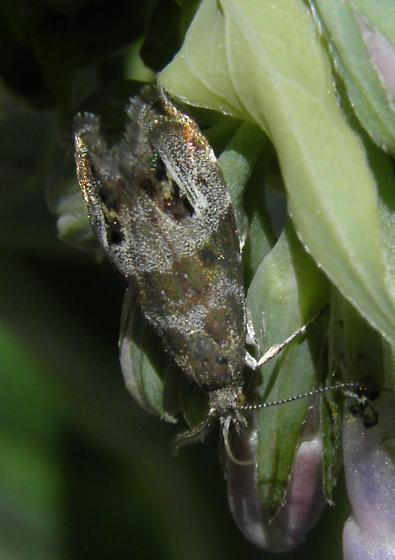 Moth on Mertensia franciscana - Caloreas apocynoglossa