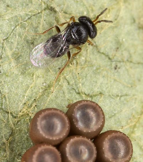 Scelionid wasp (Stink bug eggs) - Telenomus